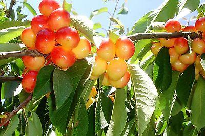 Cherry Tree Seeds - RANIER - Sweet Golden Cherry with Pink Blush - 10 Seeds