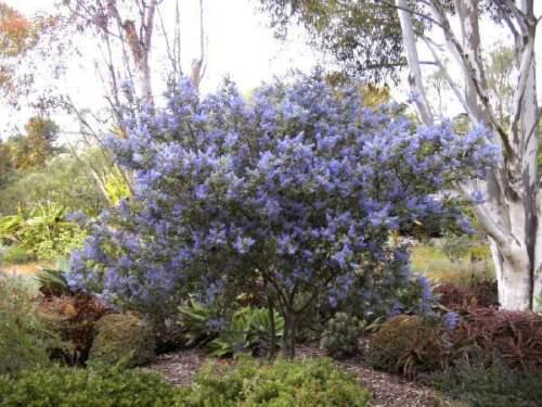 schöner blaublühender Zwergstrauch 40-60 Säckelblume