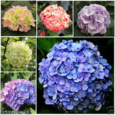 Mix color amazing Hydrangea Flower Seeds Garden Home Decoration - 25 seeds