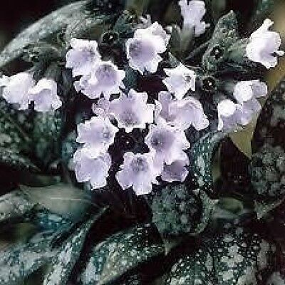 PULMONARIA 'OPAL'Blue & White Flowers White Spotty Foliage - PLUG PLANT