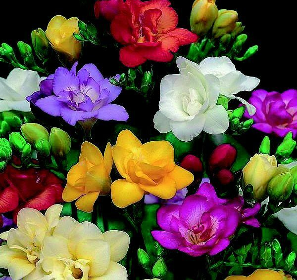 10 Freesia Bulbs Garden Spring Flowers Plant January To June Floral
