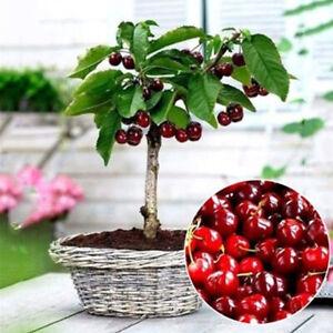 Am-CO-50PCs-Cherry-Seeds-Seeds-Fruit-Seeds-Bonsai-Tree-High-seed-in-the-Garden