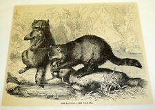 1880 magazine engraving ~ THE RACCOON