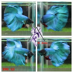 [190_A3]Live Betta Fish High Quality Male Fancy Over Halfmoon 📸Video Included📸