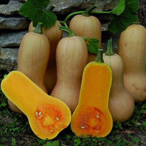 Pumpkin Seed: Butternut (20seeds)  - Organic Heirloom from Life-Force Seeds