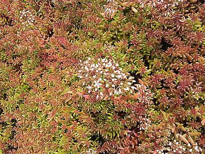 Fetthenne Sedum cauticola Robustum Sommerblüher Bodendecker