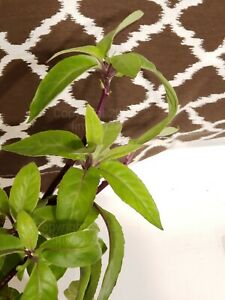 Gynura-procumbens-Edible-Plant-Longevity-Spinach-3-cuttings