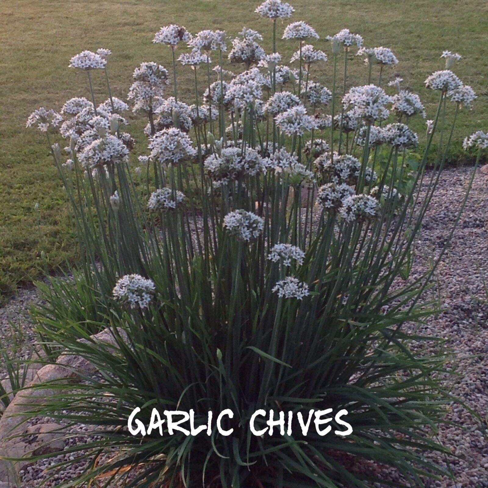 Garlic Chives 500 Seeds Herb