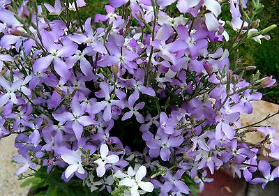 0.5g (approx. 750) night – scented stock seeds MATTHIOLA BICORNIS nicely scented