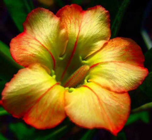 Adenium Obesum Desert Rose - HONEY - Fresh Seeds (10,25,50,100,200 Seeds)
