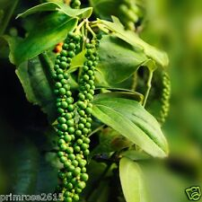 """Black Pepper High yield Variety """" Panniyur 4 """" Quality 20 Seeds from Kerala"""