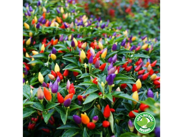 Colored Chili Pepper Plants 4seasons Bonsai Vegetable Garden Chili Hot 200 Pcs For Sale Online