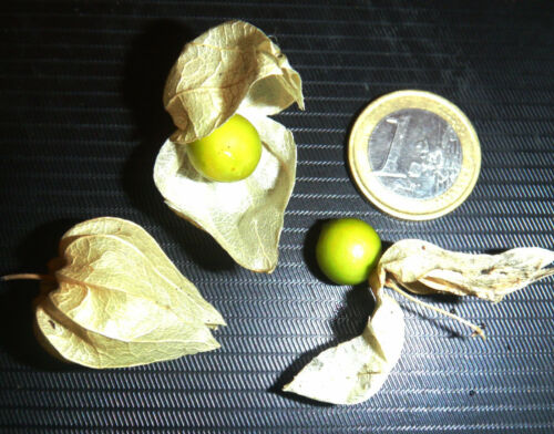 Physalis crassifolia rare fruit perennial Thick-leaf Ground-cherry 20seeds