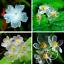 100-PCS-Seeds-Transparent-Flowers-Bonsai-Delicate-Garden-Flowers-Plants-2019-New thumbnail 1