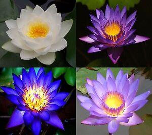 10 lotus flower seeds pink blue white purple fresh 4 colors image is loading 10 lotus flower seeds pink blue white purple mightylinksfo