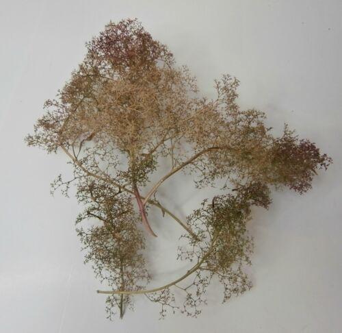 espuma de mar árboles se seca zeechium también conocido como espuma de mar espuma de mar mar Moss Teloxys residuos