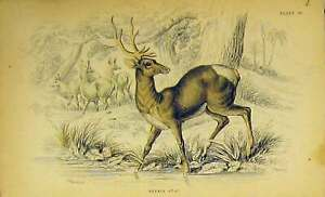 Original Old Antique Print C1850 Nepaul Stag Animal Hand Coloured Victorian