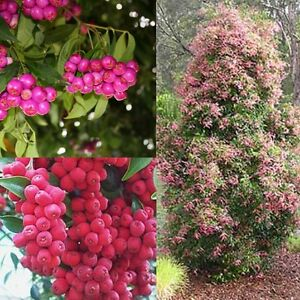 RIBERRY-039-SMALL-LEAVED-LILLY-PILLY-Syzygium-luehmannii-SEEDS-039-Bush-Tucker-Plant