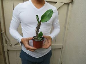 Euphorbia-Milii-Crown-of-Thorns-Red-Flower-Cactus-N