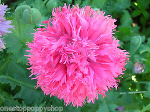 100 poppy flower seeds pink feathers poppies papaver laciniatum image is loading 100 poppy flower seeds pink feathers poppies papaver mightylinksfo