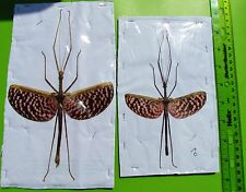 Giant Pink Winged Flying Stick Bug Diesbachia tamyris Pair FAST SHIP FROM USA