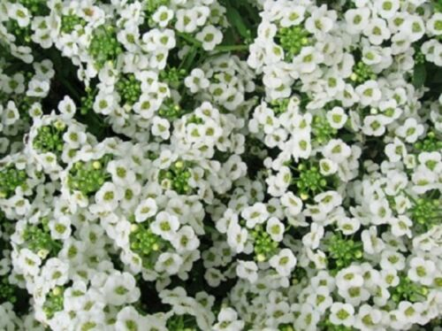 BULK SWEET ALYSSUM FLOWER SEEDS