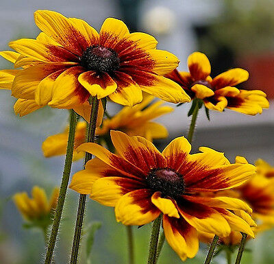 Daisy Seeds, Gloriosa Daisies, Heirloom Perennial, Heirloom Wildflowers, 75ct