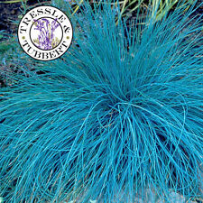 Rare BLUE FESCUE - Festuca Glauca, Grass - 30 seeds - UK SELLER