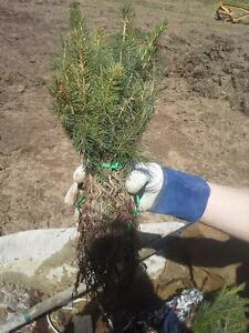Lot-of-48-FAST-GROWING-NORWAY-SPRUCE-SEEDLINGS-6-034-10-034-TALL-Ships-Spring-2019