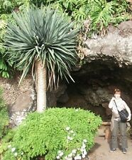 blaue Yucca rigida schnellwüchsige, winterharte Garten-Palme bis 5 m / Samen