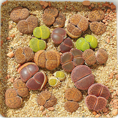 LITHOPS SEEDS (100 Mixed) Rare Succulent Cactus Samen Semi Korn Conophytum