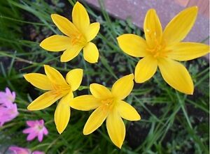 5 bulbs zephyranthesr rain lily fairy lily little yellow flower rare image is loading 5 bulbs zephyranthesr rain lily fairy lily little mightylinksfo