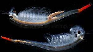 Image Is Loading Fairy Shrimp Eggs Just Like Brine And