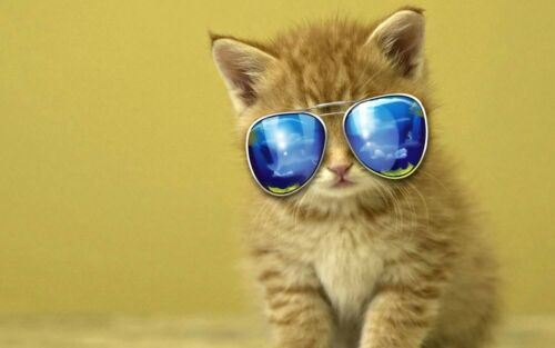 cat with sunglass funny animal poster buy wall art