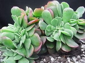 ECHEVERIA-BRIAR-ROSE-CRISTATA-Crested-Plant-Vertical-Garden-Succulent