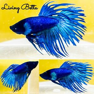 Betta Fish Live: Black, Blue, Green Metallic Crowntail - Male | spawn: 8/26/20