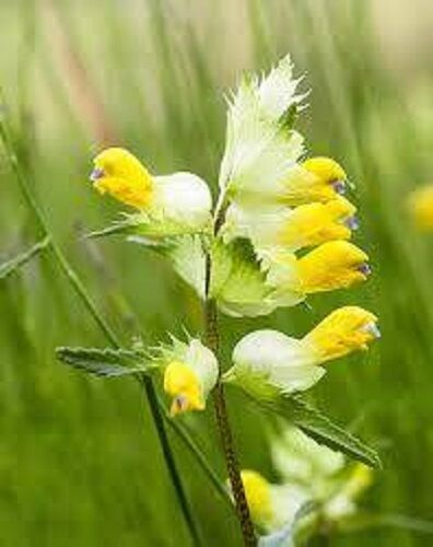 British Wild Flower Seeds Yellow Rattle Rhinanthus minor 4g to 1kg  wholesale