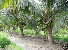 TROPICAL COCONUT-HYBRID FRUIT PLAM -BEST GROWTH -HUGES PRODUCTION - 2 Nos PLANT