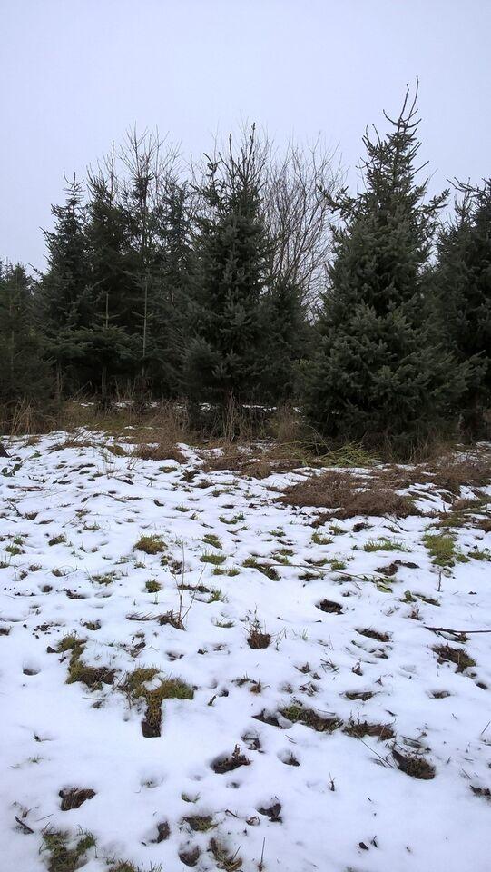 Serbisk gran, grantræer