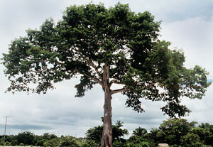 12-Semillas-Ceiba-CEIBA-PENTANDRA-Jardin-Arbol-Tree-Seeds-Samen-Semi