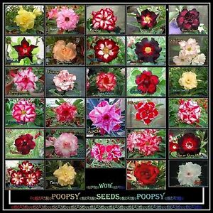 adenium obesum desert rose hybrid house plant bonsai seeds t1 ebay. Black Bedroom Furniture Sets. Home Design Ideas