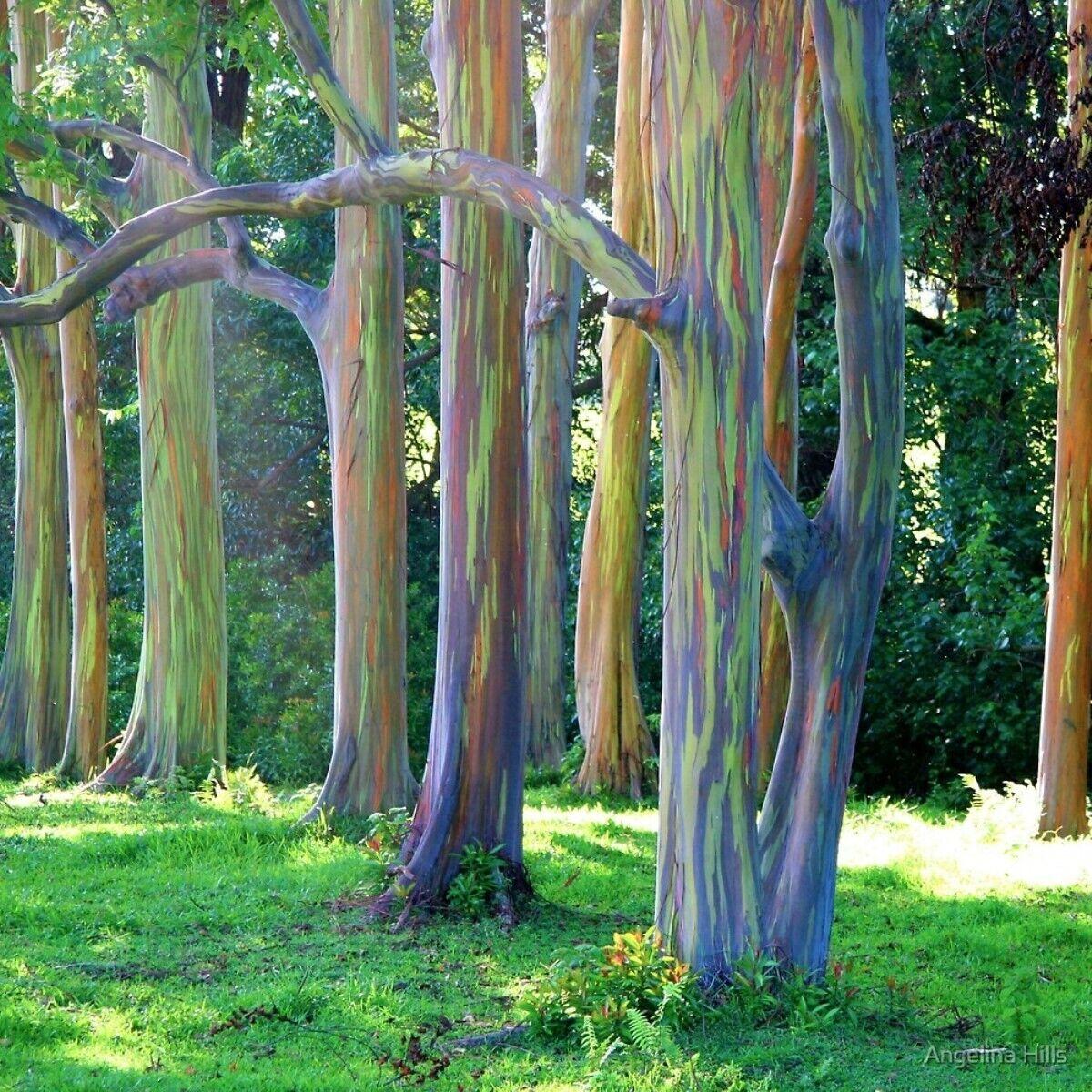 RARE Rainbow Eucalyptus Tree Seeds (Eucalyptus deglupta) 100+ Seeds