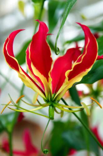 rote Prachtlilie hat wunderschöne bizzare große Blüten **Die tolle Saatgut.