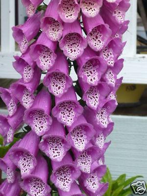 Pacific-NW-Giant-Foxglove-Mix-50-000-Seeds-Digitalis-Purpurea-Shelley