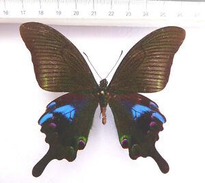 Papilio-arcturus-ssp-arcturus-Maennchen-ex-North-Thailand-n13