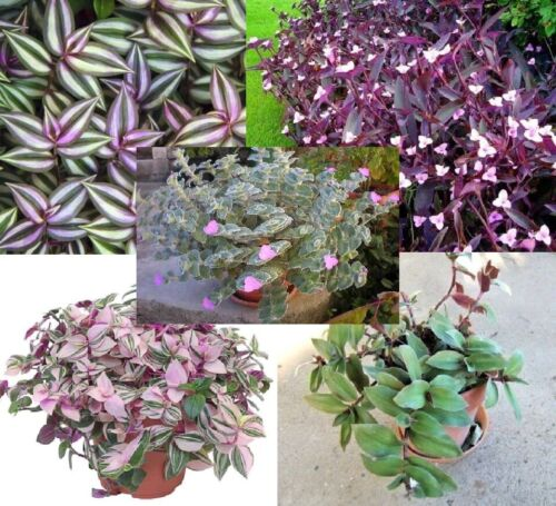 ZIZIPHUS JUJUBA BER//BAIREE JUJUBA BIOLOGICAL//MEDICINALPLANT IN 2 LTR POT 60CM HT