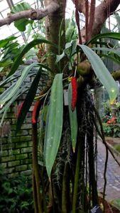 Anthurium-Bakeri-SEEDLING-Aroid-Species-Epiphytic-Araceae-LIVE-PLANT