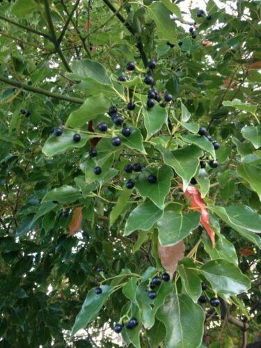 Medicinal Camphorwood Cinnamomum Camphora Tree 10 Seeds Camphor Laurel