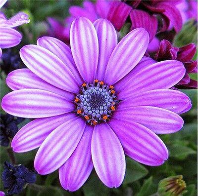 African Blue Eyed Daisy Seeds