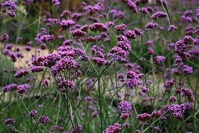 Verbena Bonariensis Seeds (500) Hardy Perennial
